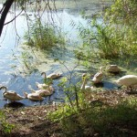 swans near the lake