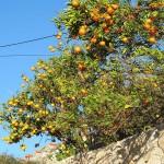 Orangen-600